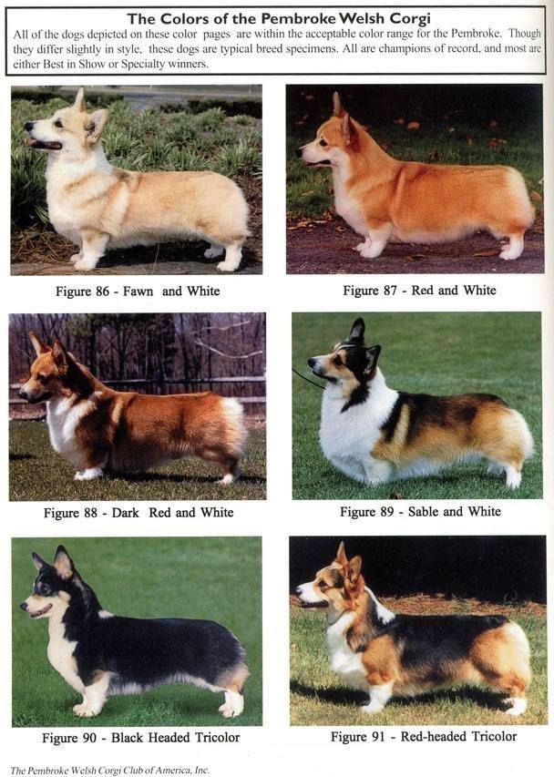 a great chart to show the colors of pembroke welsh corgis