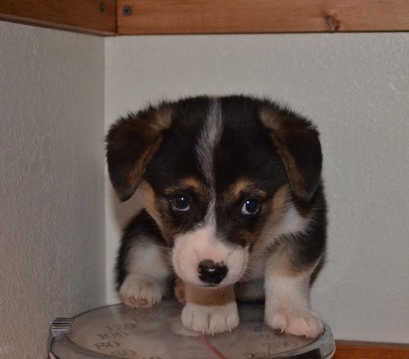 Corgi Puppy for sale